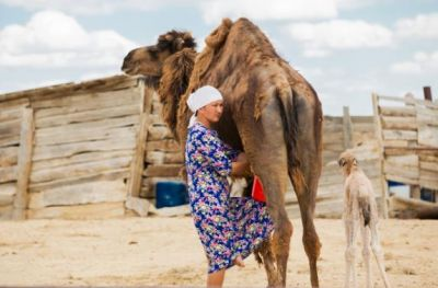 Nová studie Arniky: Velbloudí mléko ze západního Kazachstánu obsahuje nebezpečné chemikálie